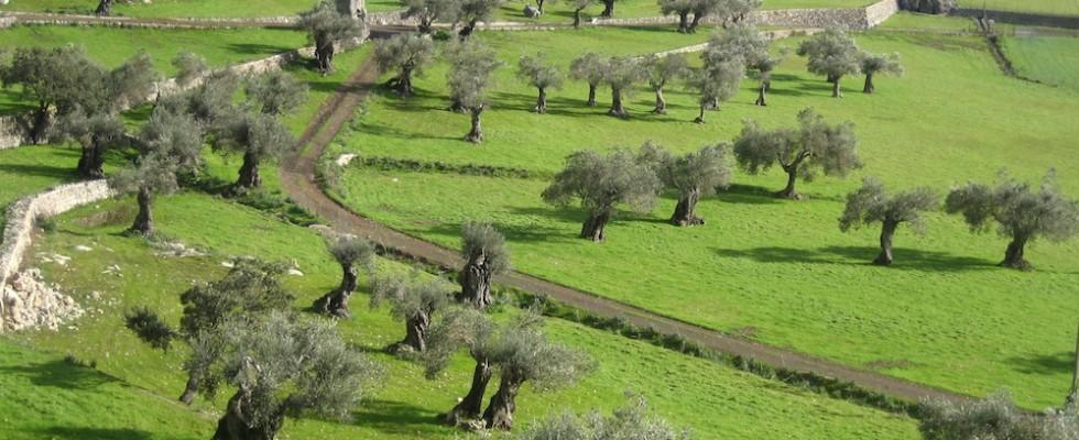 Saftig grünes Olivenhain